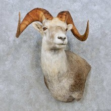 Stone Sheep Shoulder Mount For Sale #15008 @ The Taxidermy Store