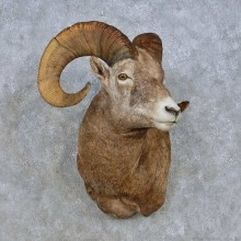 Bighorn Sheep Shoulder Mount For Sale #15010 @ The Taxidermy Store