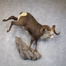 Stone Sheep Life-Size Mount For Sale #22276 @ The Taxidermy Store