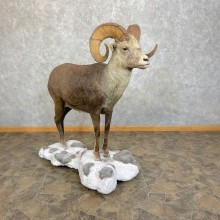 Stone Sheep Life-Size Mount For Sale #24101 @ The Taxidermy Store