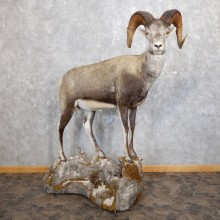 Stone Sheep Life-Size Mount For Sale #18601 @ The Taxidermy Store