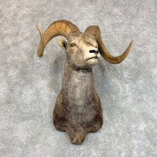 Stone Sheep Shoulder Mount For Sale #22814 @ The Taxidermy Store