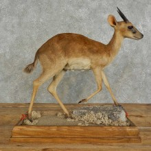 Suni Antelope Taxidermy Shoulder Mount For Sale