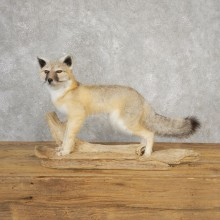 Swift Fox Life-Size Mount For Sale #21112 @ The Taxidermy Store