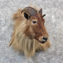 Himalayan Tahr Shoulder Mount #11540 - For Sale - The Taxidermy Store