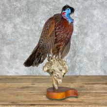 Temminck's Tragopan Pheasant Mount For Sale