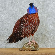 Temminck's Tragopan Pheasant Taxidermy Bird Mount #12670 For Sale @ The Taxidermy Store