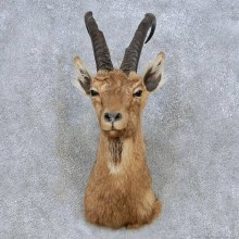 Cross Ibex Taxidermy Shoulder Mount For Sale #13976 @ The Taxidermy Store