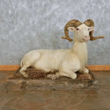 Texas Dall Sheep Life-Size Mount For Sale #15110 @ The Taxidermy Store