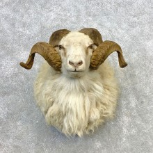 Texas Dall Sheep Mount For Sale #21652 @ The Taxidermy Store