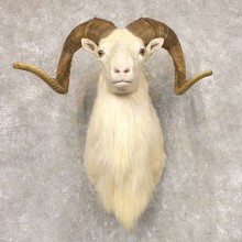 Texas Dall Sheep Taxidermy Shoulder Mount For Sale #22521 @ The Taxidermy Store