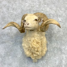 Texas Dall Sheep Taxidermy Shoulder Mount For Sale #23123 @ The Taxidermy Store