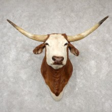 Texas Longhorn Shoulder Mount For Sale #18779 @ The Taxidermy Store