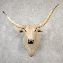 Texas Longhorn Shoulder Mount For Sale #19162 @ The Taxidermy Store