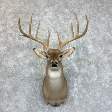 Texas Whitetail Deer Shoulder Mount #23860 For Sale - The Taxidermy Store