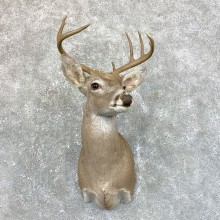 Texas Whitetail Deer Shoulder Mount #23882 For Sale - The Taxidermy Store