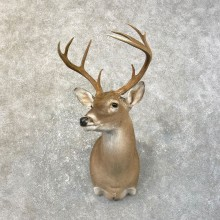 Texas Whitetail Deer Shoulder Mount #25188 For Sale - The Taxidermy Store