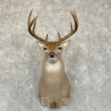 Texas Whitetail Deer Taxidermy Shoulder Mount For Sale