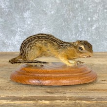 Thirteen-lined Ground Squirrel Mount For Sale #22931 @ The Taxidermy Store
