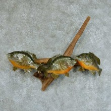 Three Bluegills Life Size Taxidermy Mount #13367 For Sale @ The Taxidermy Store