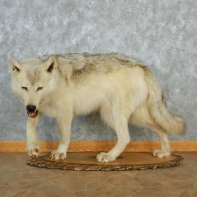Stalking Timber Wolf Life-Size Taxidermy Mount #12989 For Sale @ The Taxidermy Store