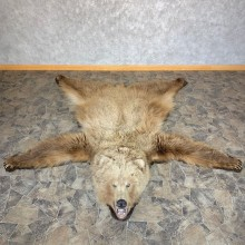 Toklat Grizzly Bear Taxidermy Rug Mount For Sale #23322 @ The Taxidermy Store