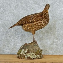 Temminck's Tragopan Pheasant Taxidermy Bird Mount #12688 For Sale @ The Taxidermy Store