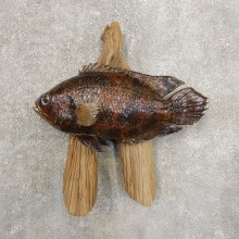 Tripletail Taxidermy Fish Mount #20946 For Sale @ The Taxidermy Store