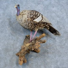 Eastern Turkey Hen Bird Mount For Sale #15434 @ The Taxidermy Store