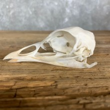 Turkey Bird Skull For Sale #22247 @ The Taxidermy Store