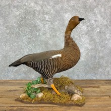 Upland (Magellan) Goose Bird Mount For Sale #23180 @ The Taxidermy Store