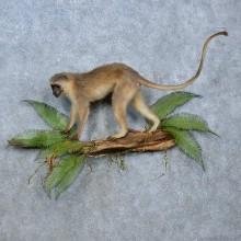 Vervet Monkey Life-Size Mount For Sale #15357 @ The Taxidermy Store