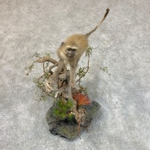 Vervet Monkey Life-Size Mount For Sale #22720 @ The Taxidermy Store
