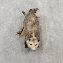 Wall Hanging Opossum Mount For Sale #19071 @ The Taxidermy Store