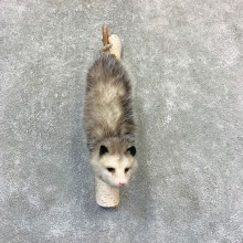 Wall Hanging Opossum Mount For Sale #23194 @ The Taxidermy Store