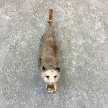 Wall Hanging Opossum Mount For Sale #23195 @ The Taxidermy Store