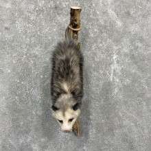 Wall-Hanging Opossum Taxidermy Mount For Sale