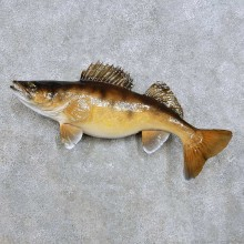 Walleye Fish Mount For Sale #14380 @ The Taxidermy Store