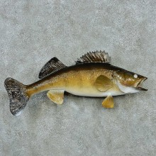 Walleye Life Size Freshwater Fish Mount #13505 For Sale @ The Taxidermy Store