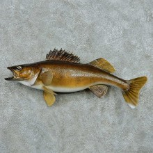 Walleye Life Size Freshwater Fish Mount #13507 For Sale @ The Taxidermy Store
