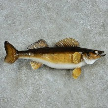 Walleye Life-Size Mount #13535 For Sale @ The Taxidermy Store
