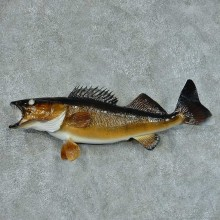 Walleye Pike Taxidermy Fish Mount #13422 For Sale @ The Taxidermy Store