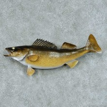Walleye Pike Taxidermy Fish Mount #13423 For Sale @ The Taxidermy Store