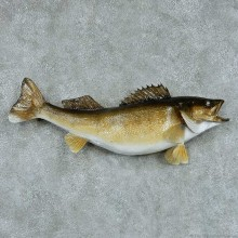 Walleye Pike Taxidermy Fish Mount #13426 For Sale @ The Taxidermy Store
