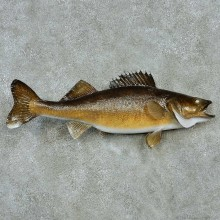 Walleye Freshwater Fish Life-Size Mount #13555 For Sale @ The Taxidermy Store