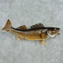 Walleye Life Size Freshwater Fish Mount #13557 For Sale @ The Taxidermy Store