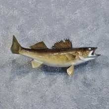 Walleye Pike Fish Mount #10222 For Sale @ The Taxidermy Store