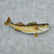 Walleye-Pike-Taxidermy-Fish-Mount-M1-#12793-For-Sale-@-The-Taxidermy-Store