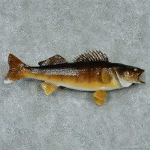 Walleye Pike Taxidermy Fish Mount #13407 For Sale @ The Taxidermy Store