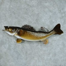 Walleye Pike Taxidermy Fish Mount #13409 For Sale @ The Taxidermy Store